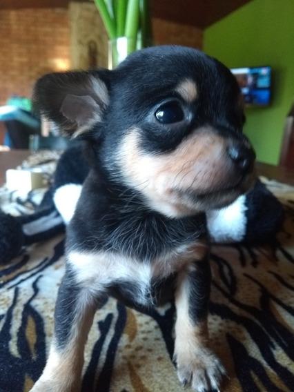 Chihuahua Macho Mini Pelo Corto.