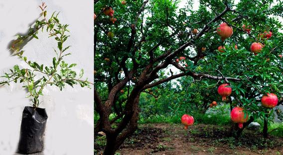 Planta De Granada Punica Granatum Las Frutas Ecuador