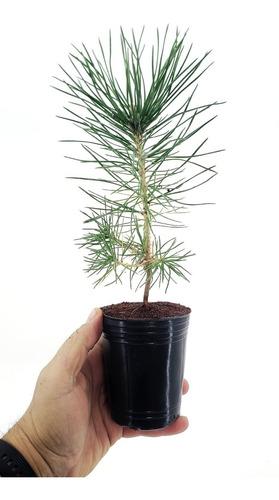 Bonsai Plantin Pino Negro Thumbergii De Semilla En Puzolana