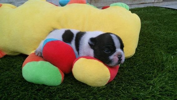 Filhote Bulldog Francês Macho Padrão Show Sp Zona Leste