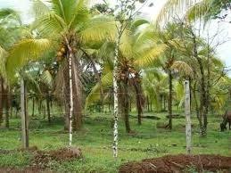 Vendo Finca De Coco En Nagua 450 Tareas $18m Neg Permuta