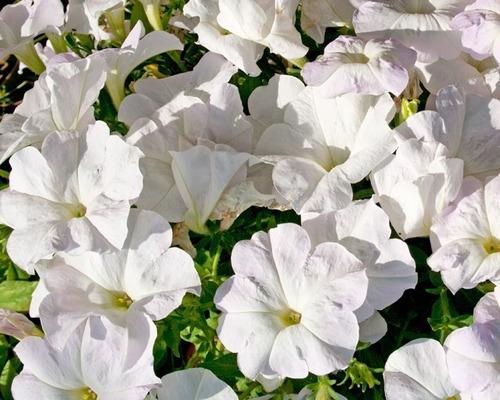 40 Semillas Flor Petunia Enana Blanca  + Obs Germinación