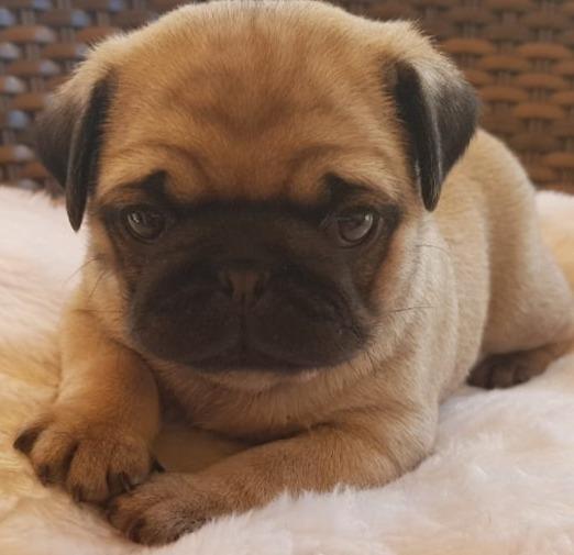 Filhote Fêmea Pug Canil Izafa Dog