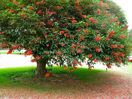 Sobre Para Sembrar 15 Arbol De Ceibo Flor Roja