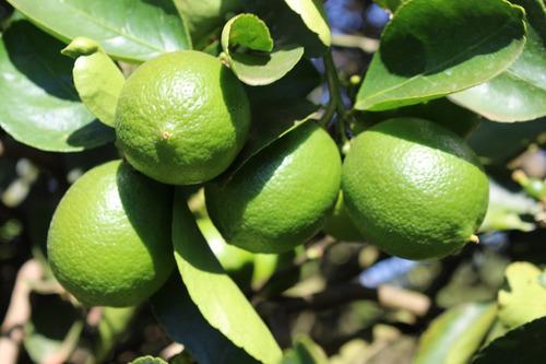 Imagem 1 de 3 de  Limao Taiti (citrus Limon) 1 Muda