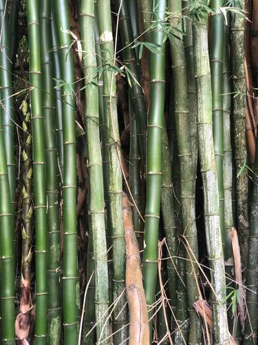 Bambu Mosso Varas De 11 Metros