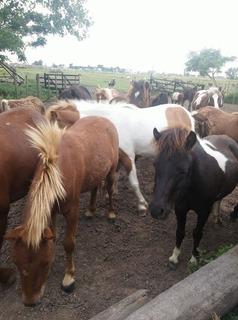 Analisis De Anemia Petizas Ponys