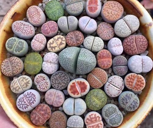Lithops Pedra Viva Flor Sementes P/ Mudas Cacto Frete Barato