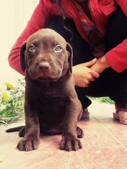 Cachorros Labrador Retriever Chocolate !