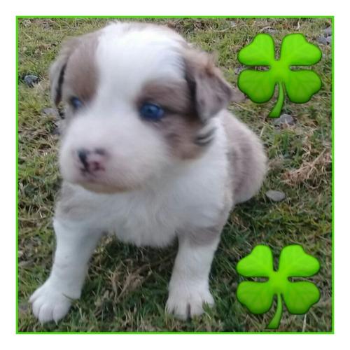 Hermosos Cachorros Border Collie Blue, Merle, Tradicional