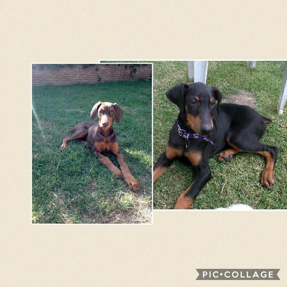 Cachorros Doberman Puros, Marrones Y Negros, Consultar!!!!
