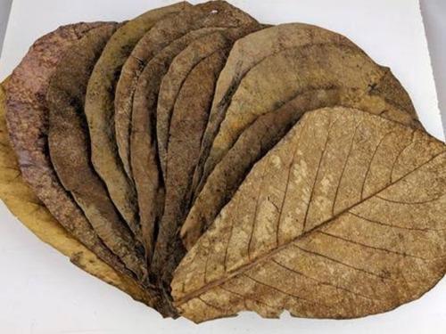 Imagem 1 de 1 de Folhas De Amendoeira Para Uso Em Aquários