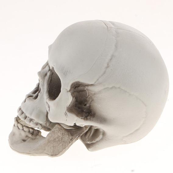Cabeza De Esqueleto Modelo Simulado De Cráneo Humano