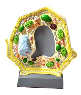 Juguete Modelo De Células Vegetales Eisco