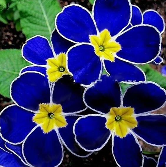 100 Sementes Flor Vistosa Azul Da Noite Rara