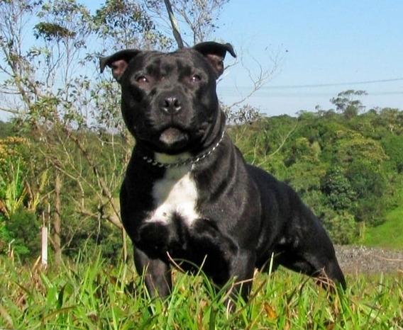 Filhotes Staffordshire Bull Terrier
