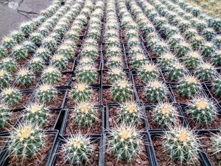Paquete De Cactus 50 Piezas
