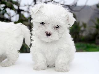 Cachorros Bichon Maltes Raza Pequeña - No Botan Pelo