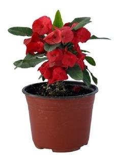 Planta Corona De Cristo Flor Roja
