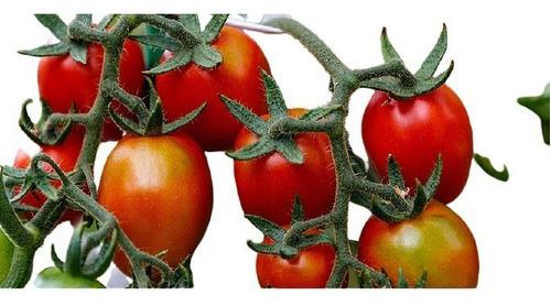 01 Muda De Tomate Cereja Produtiva + Manual De Plantio