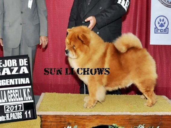 Cachorros Chow Chow Inscriptos Fca