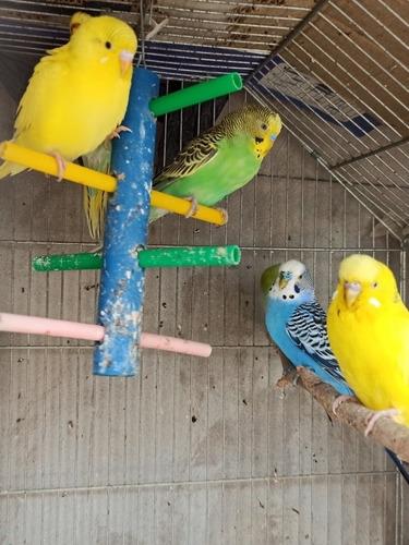 Pericos Australianos Multicolores