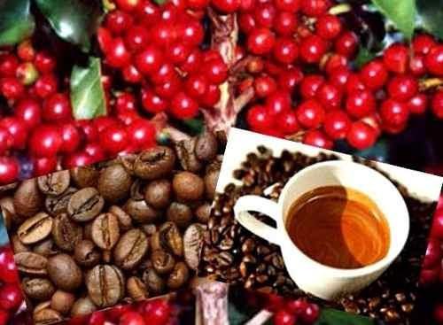 80 Sementes Café Arábica Resistente À Seca Pragas E Doenças
