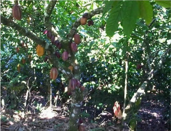 Finca De 1000 Tareas De Cacao En Yamasá.