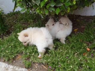 Hermosos Cachorros Lulú De Pomeranio Padres De Pedigree