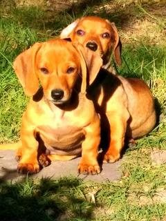 Cachorros Salchichas Minis Kichnet D Excelent Genética.