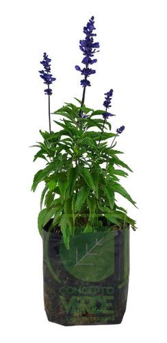 Imagen 1 de 8 de Salvia Azul
