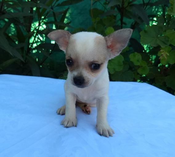 Hermosas Hembras Chihuahua Mini Con Pedigree !!!