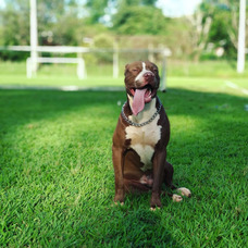 Cobertura Pit Bull Terrier Maringá