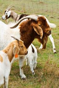 Ração Cabras - Cabrito - Caprinos Manutenção- Pct 10 Kg