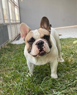 Bulldog Francés Semental