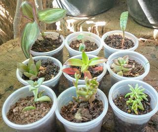 Plantas Mini Suculentas Crásulas