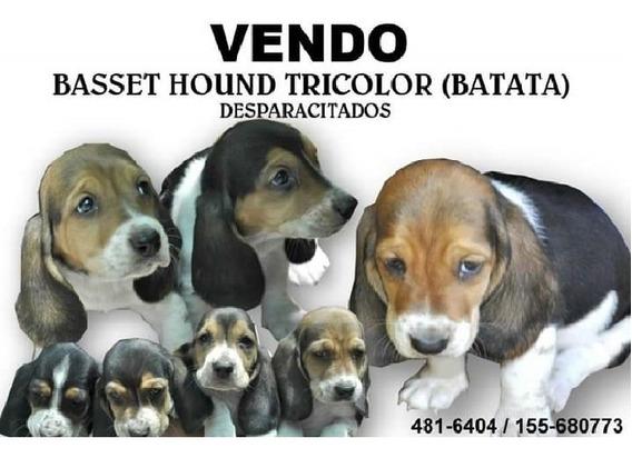 Vendo Cachorros Basset Hound
