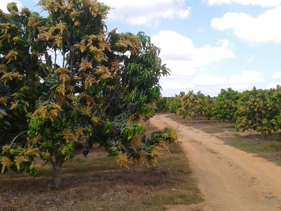 Km 205 Aca Pino Rancho De Mango Kent Calidad Exportacion