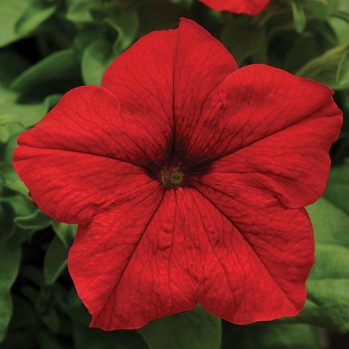 200 Semillas Flor Petunia Rojo + Obseq Germinación