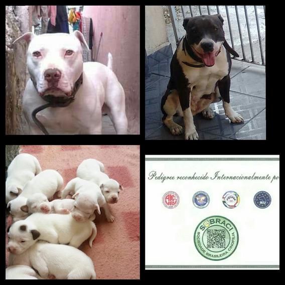 Filhotes De Pit Bull Terrier Vai Com Pedigre E Vermifugado
