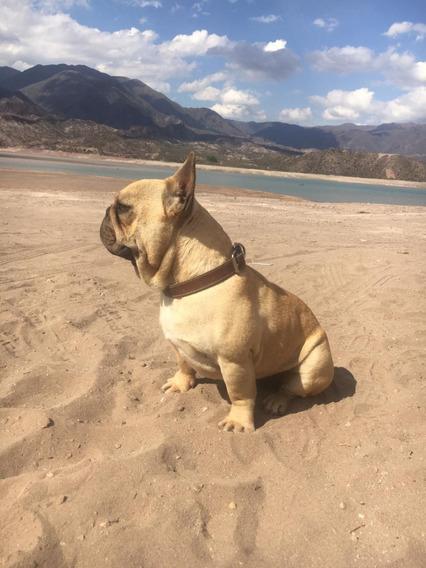 Bellisimo Bulldog Frances Para Servicio De Stud