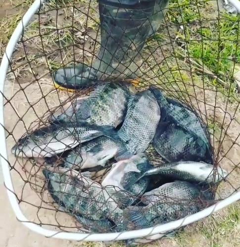 Imagem 1 de 4 de Peixes Vivos Para Pesqueiros (tilapias Frescas)