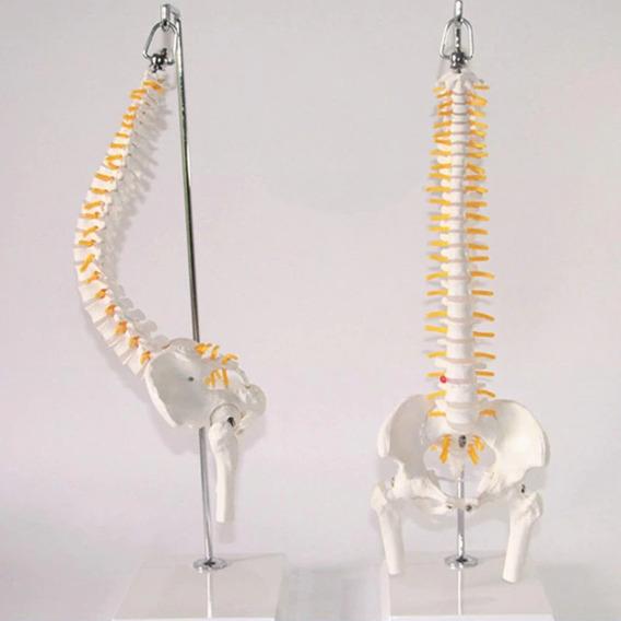 Coluna Vertebral Esqueleto - Anatomia Humana - 45cm Flexivel
