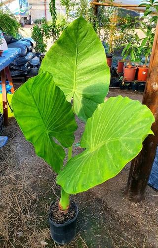 Imagen 1 de 10 de Planta Oreja De Elefante