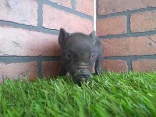 Mini Pig Minipigs Mini Pigs Minipig Macho Negrito