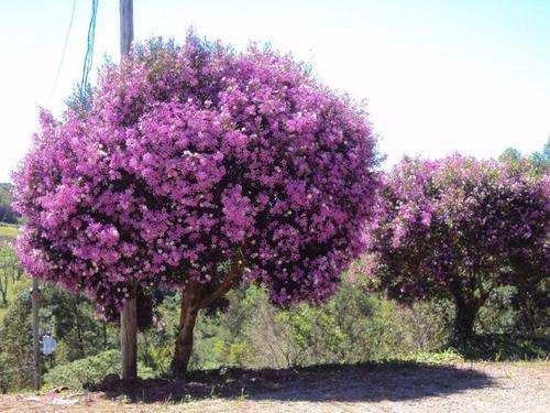 Imagem 1 de 8 de Manacá Da Serra Tibouchina Sementes +frete Registrado Grátis