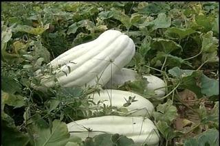 Semillas Zapallo Blanco Gigante - Matriz De 25 Kilos!!!!!!!!