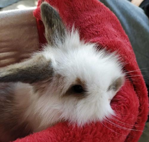 Imagen 1 de 10 de  Teddy Holland Lop Conejos Enanos Mascotas León