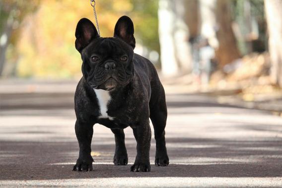 Bulldog Frances En Servicio De Stud. Ejemplar De Exposicion