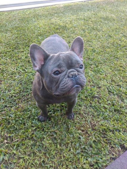Bulldog Frances Blue, Servicio , No El Perro